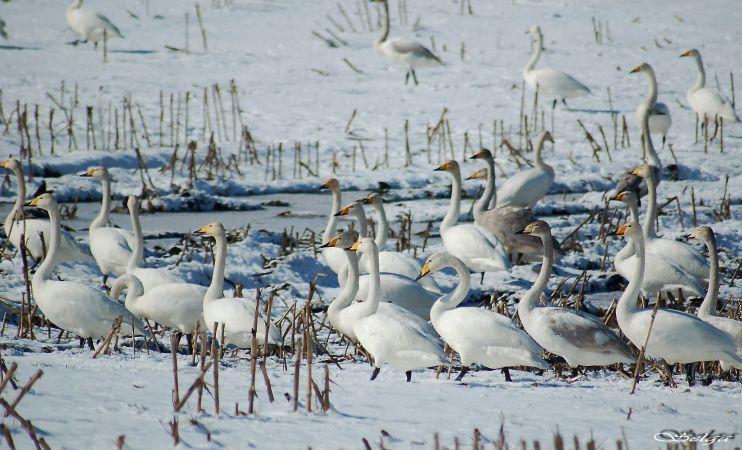 Janvārī skolēnus aicina novērot Latvijā ziemojošos ūdensputnus
