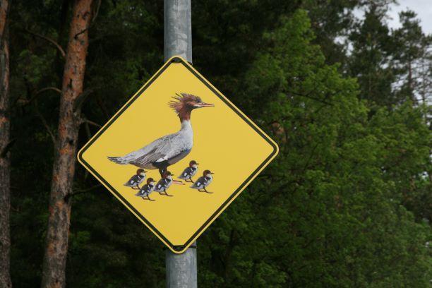 """Noslēdzies ūdeņu putnu izzināšanai veltītais projekts """"Putna stunda"""""""